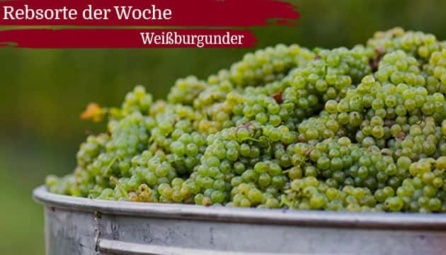 Rebsorte der Woche: Weißburgunder
